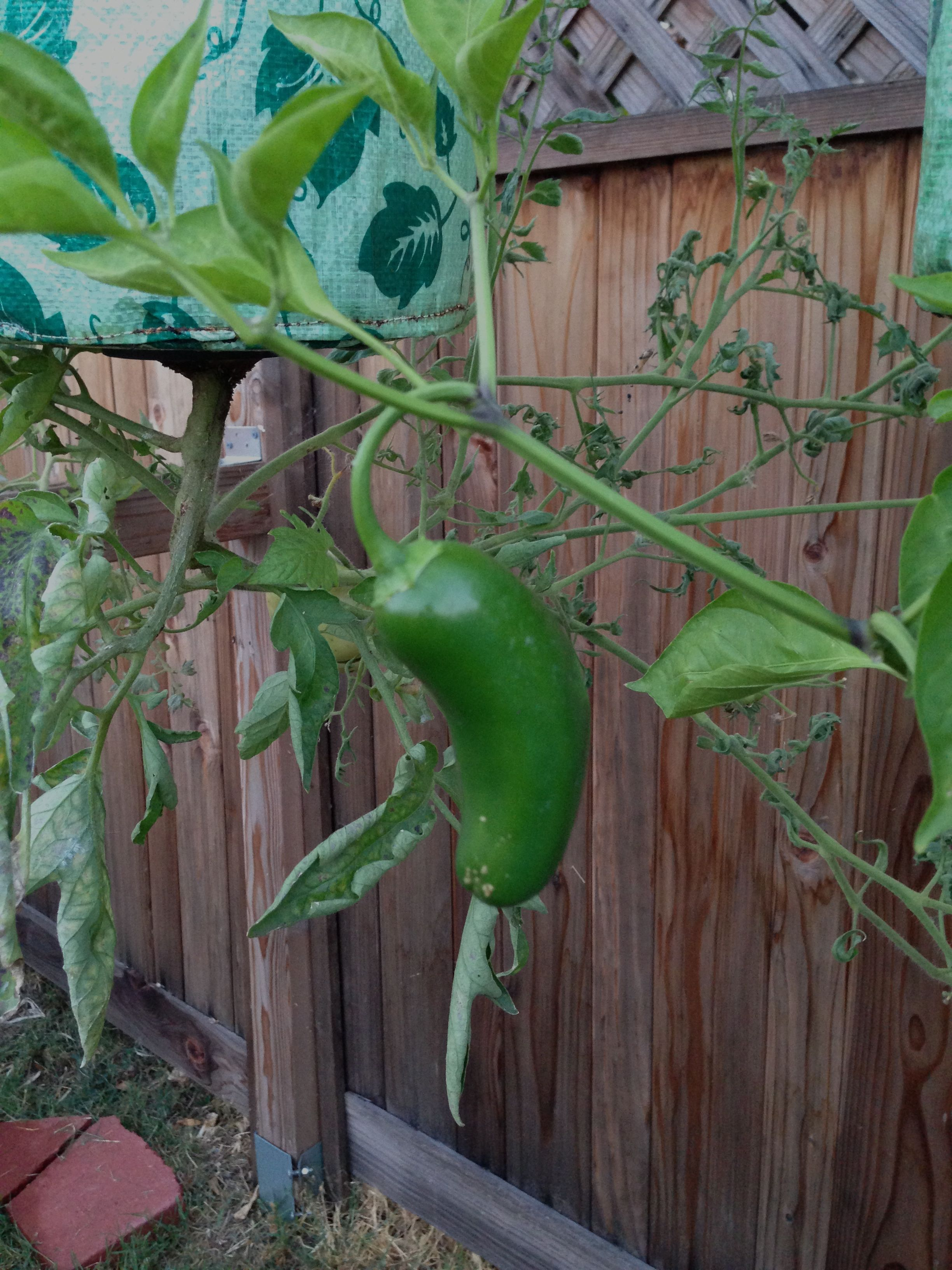 how to grow jalapenos in india